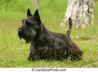 The Scottish Terrier also known as the Aberdeen Terrier,...