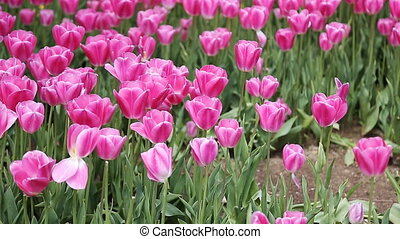 Pink, yellow, red tulips in the gardens of the city...