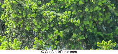 Green young fir tree needles. - Fir tree with young green...
