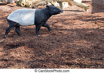 Malayan tapir, Tapirus indicus walking on a wooden floor