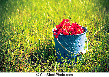red currant fruit bucket grass - Red currant fruit in a...