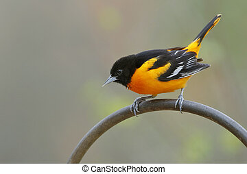 Male Baltimore Oriole (Icterus galbula) Perched on a Metal...