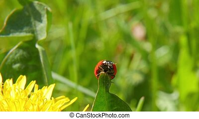 Ladybird on blade of grass