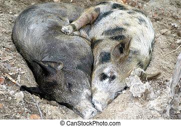 Embracing pigs in Peru