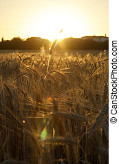 Wheat field on the sunrise of a sunny day