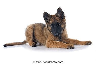 Belgian Shepherd Tervuren - puppy Belgian Shepherd Tervuren...