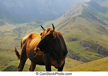 Bull at the top of the mountain