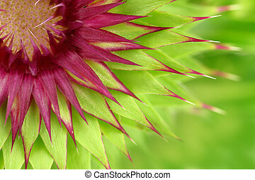 Milk thistle flower macro background