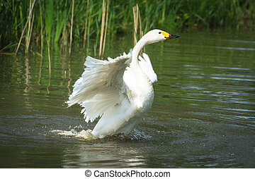 White swan spreading its wings
