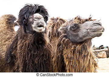 Domestic bactrian camel - portrait of two domestic bactrian...