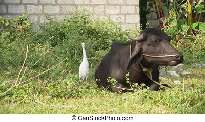 india, heron and water buffalo - white heron resting near...