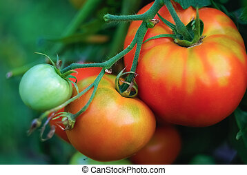 Growing tomatoes - Shallow depth of field. Selective focus.
