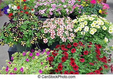 colorido, petunia, flor, ahorcadura, cestas,