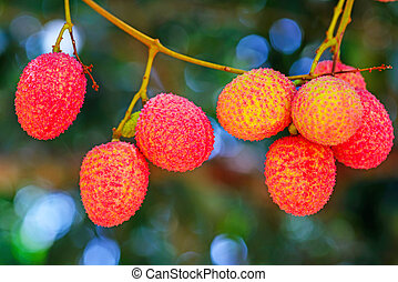 Lychee fruit on the tree in the garden of thailand, Asia...