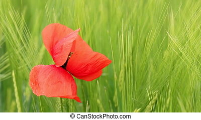 poppy flower closeup nature background