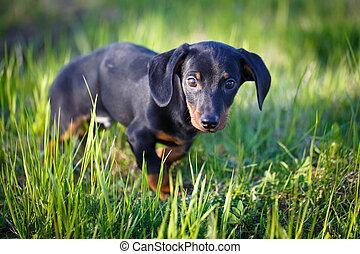 puppy - dachshund puppy