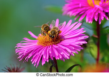 Bees and flowers - Shallow depth of field Selective focus