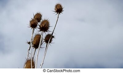 Dry thistle and blue sky