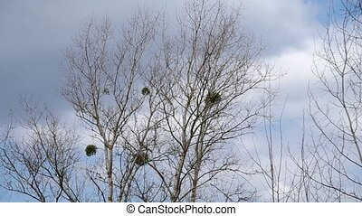Mistletoe in the trees and the wind