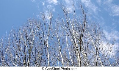 Birch tree and blue sky
