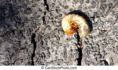 Larva of cockchafer on a wooden bark