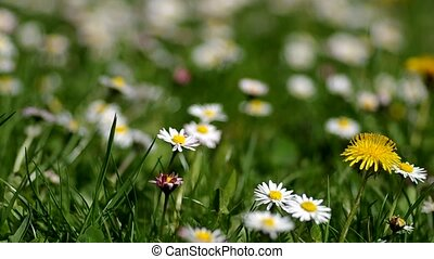 Daisies in a meadow in spring
