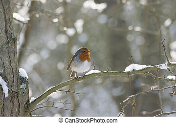 Robin Redbreast - a little robin perched on a snow covered...