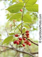 Miracle fruit tree