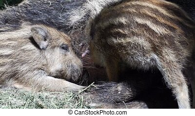 boar piglet in a german forest