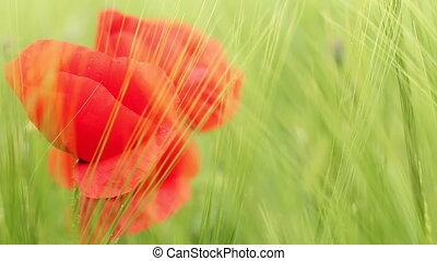 poppy flower in green barley field closeup