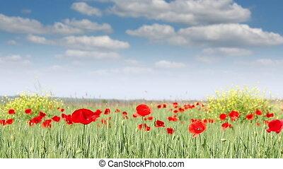 poppy flowers meadow nature landscape