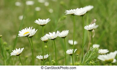 white wild flowers nature