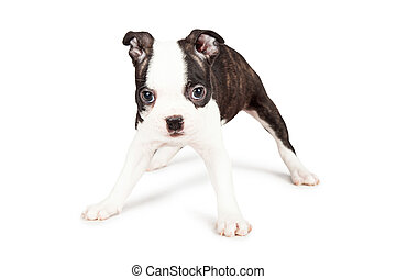 Boston Terrier Puppy Standing Legs Wide - A cute little...