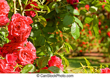 red rose garden - rose garden red roses in bloom and green...