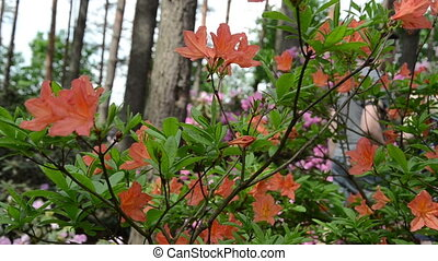 pan orange rhododendron - Panning near orange rhododendron...