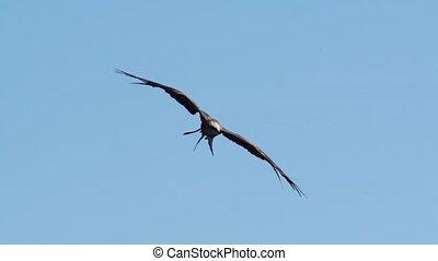 red kite in springtime