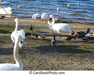 birds wintering in the bay on the coast - swans, gulls, wild...