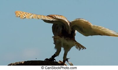 barn owl in slow motion