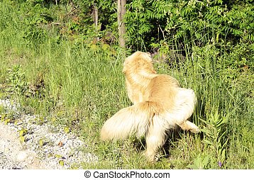 Golden Lab Urinating - A golden lab stops on the roadside...