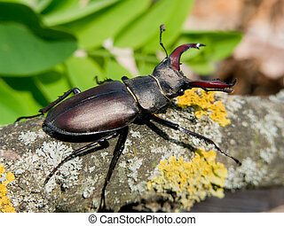 Stag beetle (Lucanus Cervus) in the oak forests of insects.