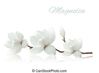 Flower background with blossom branch of white magnolia....