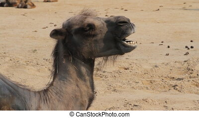 Sad Camel in the zoo - Two-humped camel in Toronto zoo