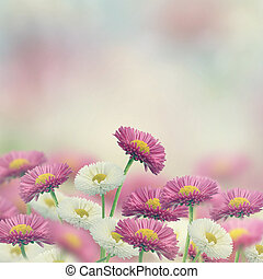 Marguerite Flowers - White And Pink Marguerite Flowers