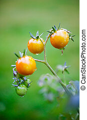 Growing tomatoes - Bunch of fresh tomatoes after rain