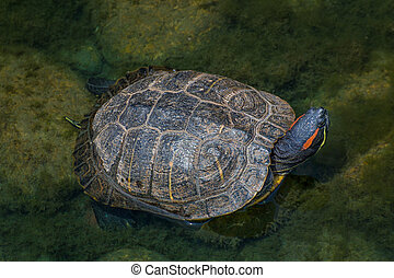Red-eared Slider Turtle - Red-eared Slider turtle in an...