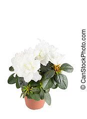 Mini-azalea, com, grande, branca, flores, aquilo, é,...