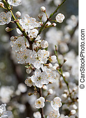 Branches of the blossoming cherry in the spring with white...