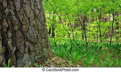 Glade of flowering lily of the vall - Forest Glade with...
