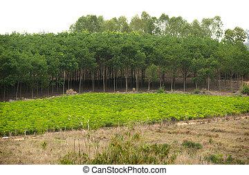 Eucalyptus plantation.