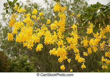 Golden Shower Tree.